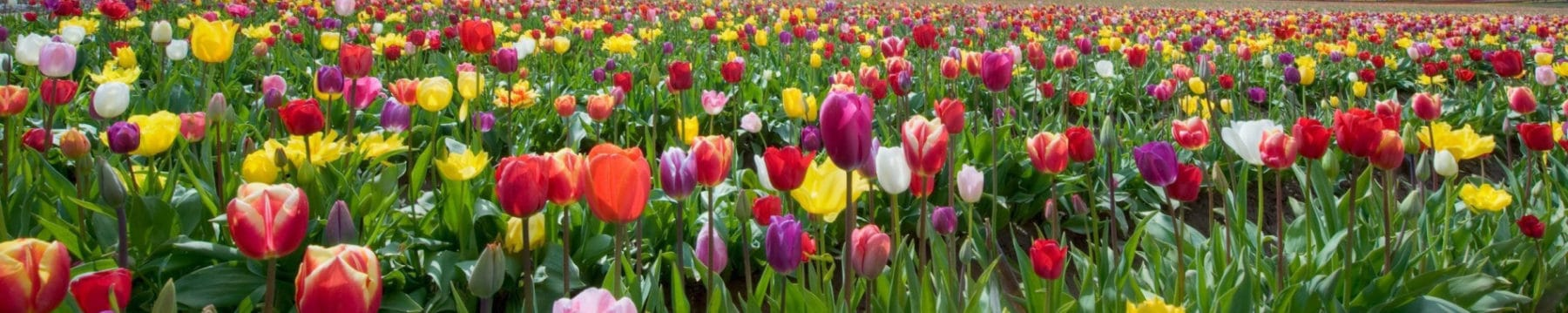 tulips-nature-flowers-field User Reviews